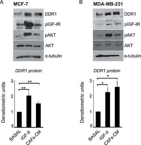 IGF-II from human CAFs-CM is able to upregulate DDR1 protein in breast cancer cells.