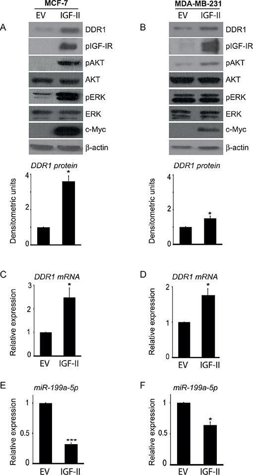 Autocrine IGF-II markedly upregulates DDR1 in breast cancer cells.