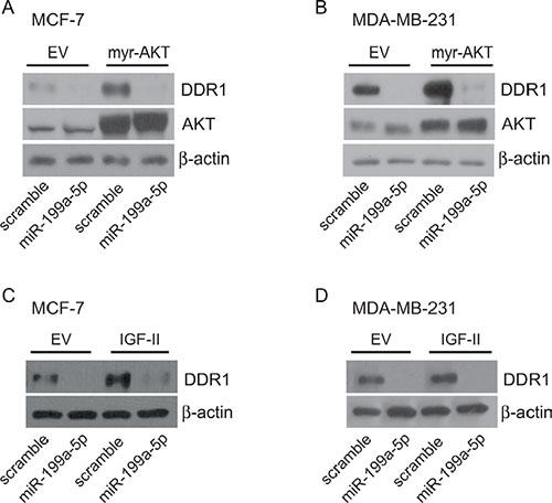 miR199a-5p inhibits DDR1 up-regulation induced by myr-AKT or autocrine IGF-II.