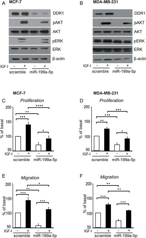 In breast cancer cells miR-199a-5p inhibits IGF-I signaling, and cell proliferation and migration.