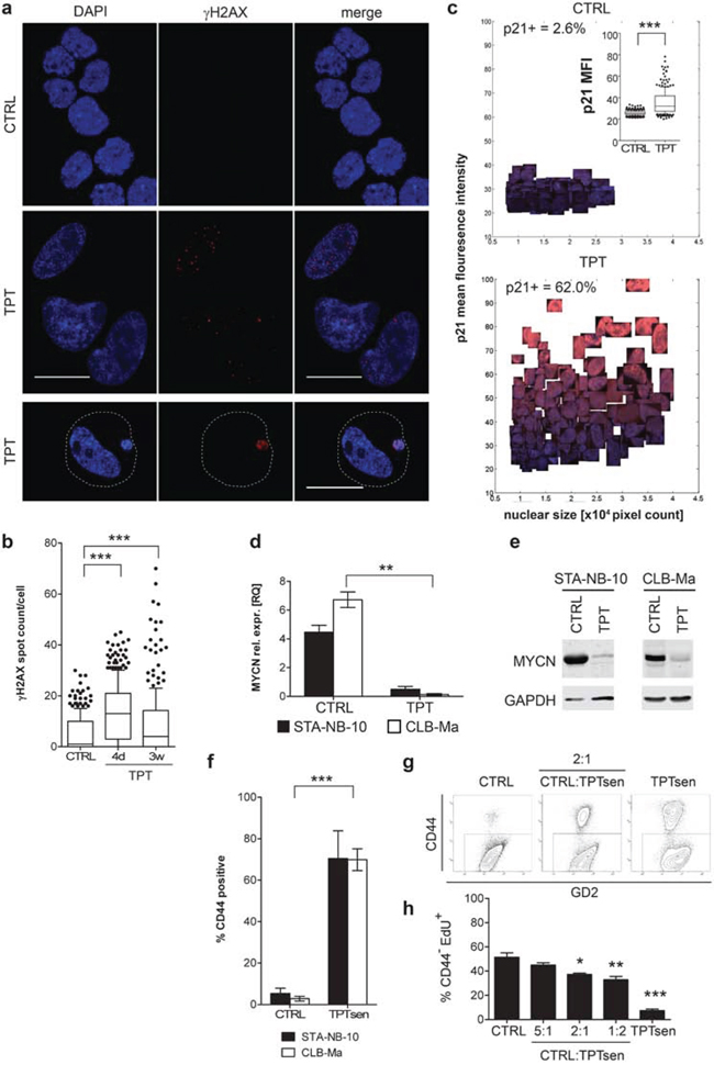 Long-term low-dose TPT-treated senescent NB-cells display senescence-associated markers, down-regulation of MYCN and reduce the proliferation of non-senescent NB cells in co-culture.