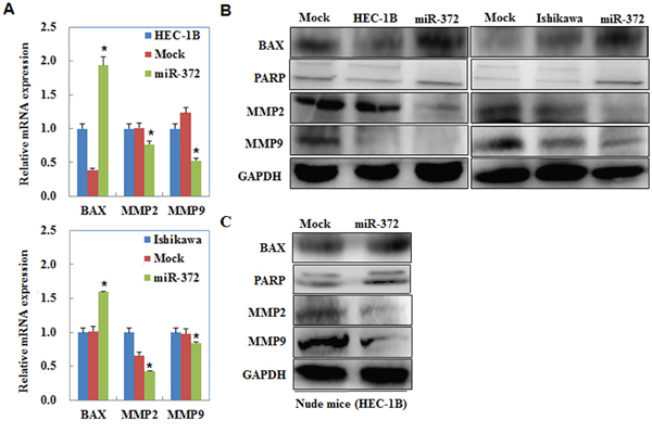 MiR-372 overexpression regulates MMP2, MMP9, PARP, and BAX mRNA or protein expression.