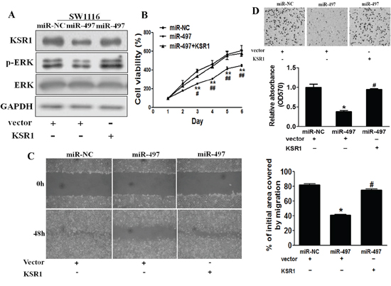 Overexpression of KSR1 reverses miR-497-mediated suppression of cell proliferation, migration and invasion.