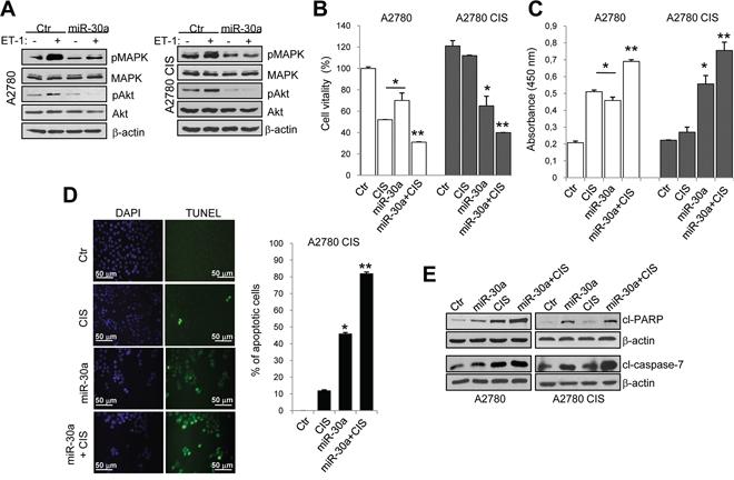 Ectopic expression of miR-30a sensitizes EOC cells to cisplatinum-induced apoptosis.