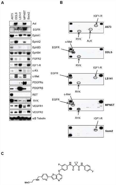 Basal levels of total and phosphorylated receptor tyrosine kinases in five sarcoma cell lines.