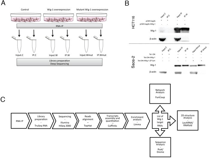 RIP strategy for isolation of Wig-1-associated RNAs.