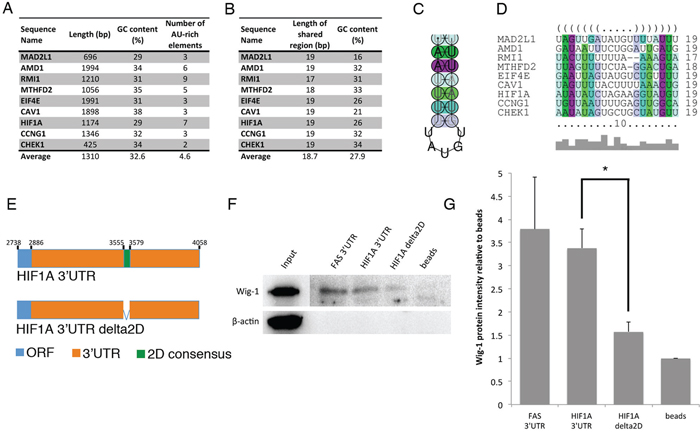 Identification of a predicted stem-loop structure within Wig-1-bound mRNAs.