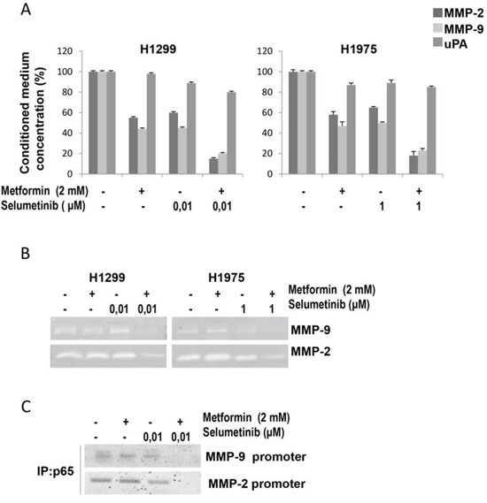 Effects of metformin and MEK inhibitor on intracellular pathways and MMP-9, MMP2 and uPA expression and activity in NSCLC cells.