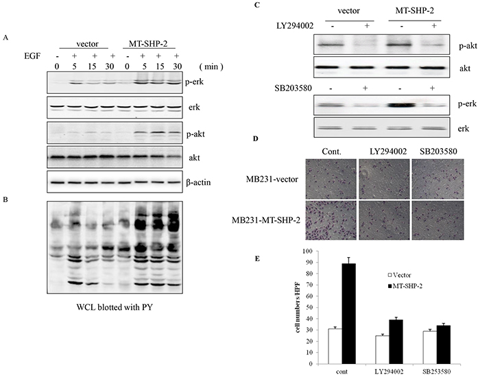 Figure 6. PTPN11 mutation increases Ras-Erk signalling pathway activation.