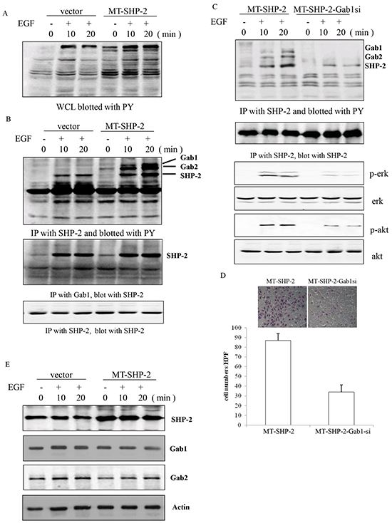 Figure 7. PTPN11 mutation increases the binding between Gab1 and SHP2 in MB231 cells.