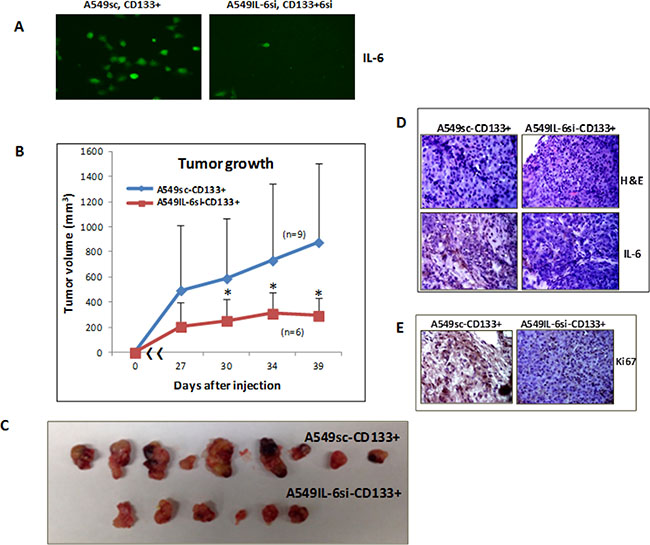 In vivo xenograft studies in mice.