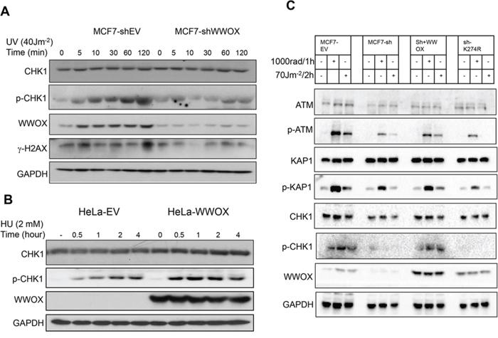 WWOX regulates DNA-damage response following SSBs
