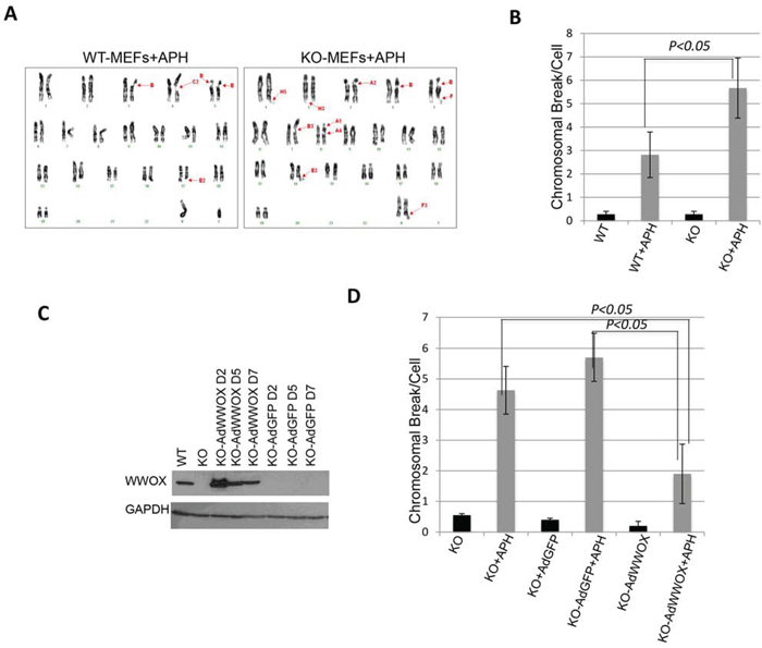WWOX deficiency sensitizes cells to chromosomal breaks upon DNA damage.