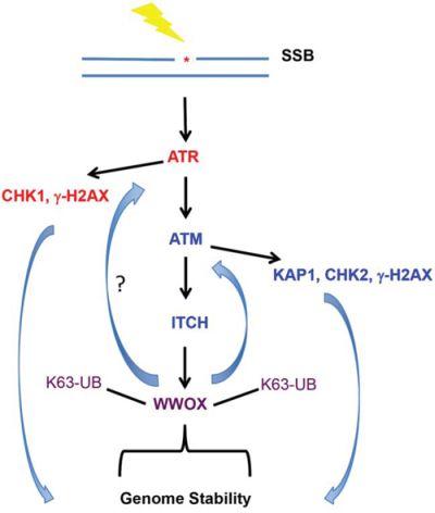 Summary illustration of WWOX action upon DNA SSB.