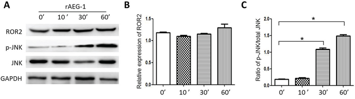 Effect of AEG-1 on ROR2 and p-JNK expression.