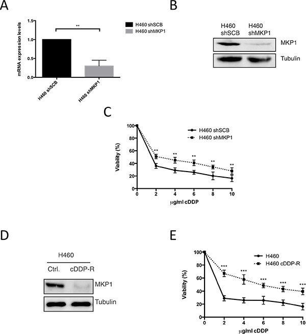 Abrogation of MKP1 mediates resistance to cDDP in NSCLC.
