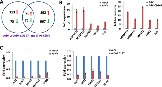 Intersection analysis and experimental validation of gene profile alterations in KSHV-infected and CD147-overexpressed endothelial cells.