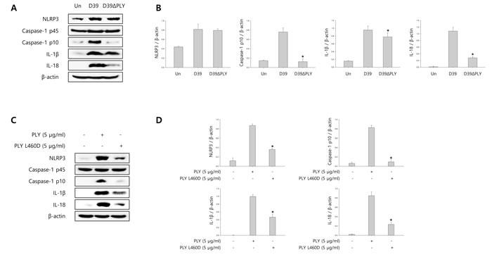 Pneumolysin induces caspase-1 activation and pyroptosis.
