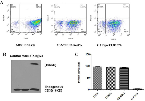 Characterization of CARgpc3 T cells.