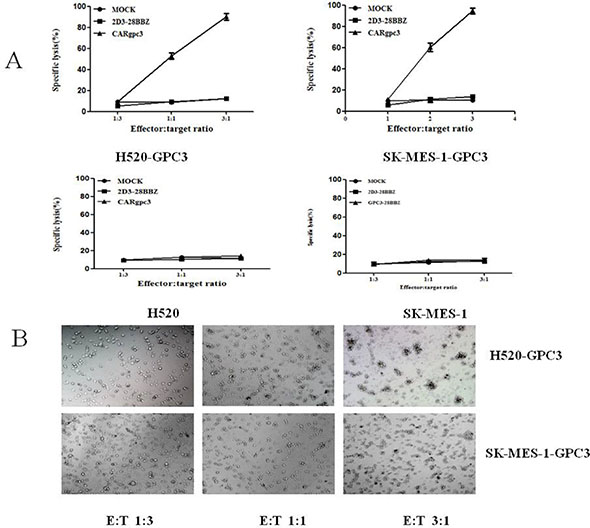 Cytotoxicity of the CARgpc3 T cells against tumor cells with GPC3 over-expression.