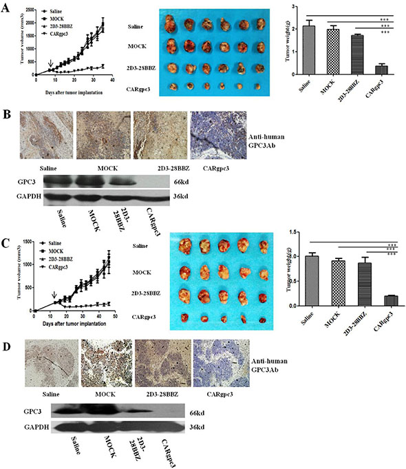 Growth suppression of established s.c. xenografts by CARgpc3 T cells.