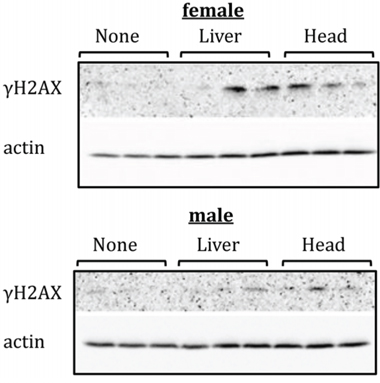 Levels of phosphorylated H2AX (γH2AX ) in PFC tissues of head- and liver-irradiated female and male animals.