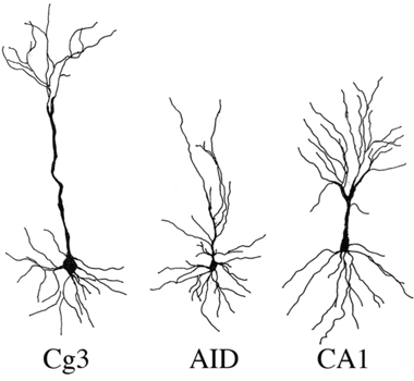 Representative samples of camera lucida drawings of pyramidal neurons used for spine density and dendritic analysis in medial prefrontal cortex (Cg3), orbital frontal cortex (AID), and hippocampus (CA1) of male and female rats exposed head or liver irradiation.
