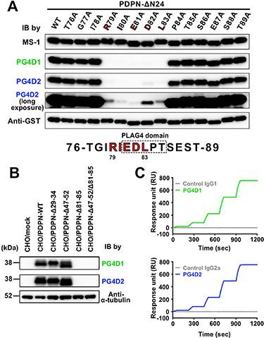 Establishment of PLAG4 domain-recognizing anti-podoplanin-neutralizing mAbs.