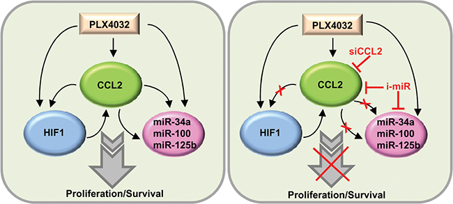 Schematic representation of the CCL2/HIF1/miRNA loop associated with resistance.