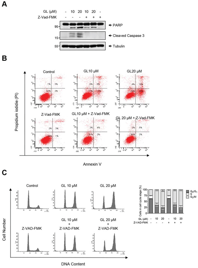 GL induction of cell-cycle arrest is mediated by a caspase-independent pathway.