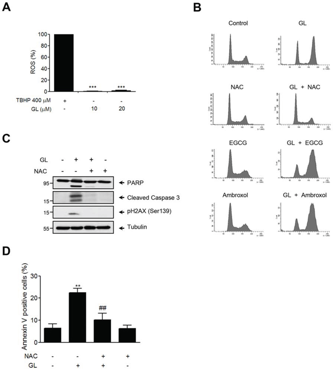 NAC inhibits GL-induced cell cycle arrest and apoptosis in DU145 cells.