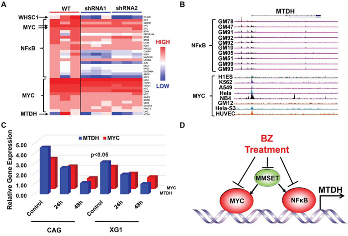 NFκB and MYC directly transcribe MTDH expression in MM.