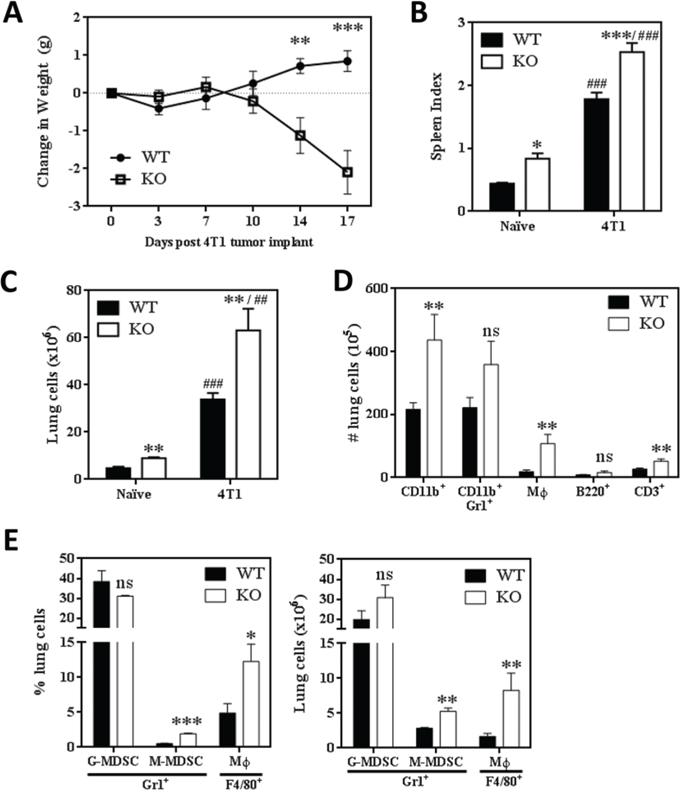 SHIP-/- BALB/c mice challenged with 4T1 metastatic mammary tumors exhibit extreme myeloid hyperplasia.