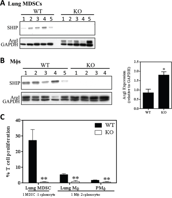 SHIP restricts the immunosuppressive properties of 4T1-induced myeloid cells.