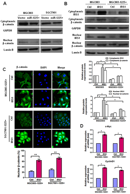 IRS1 increases translation of β-catenin and its target gene expression.