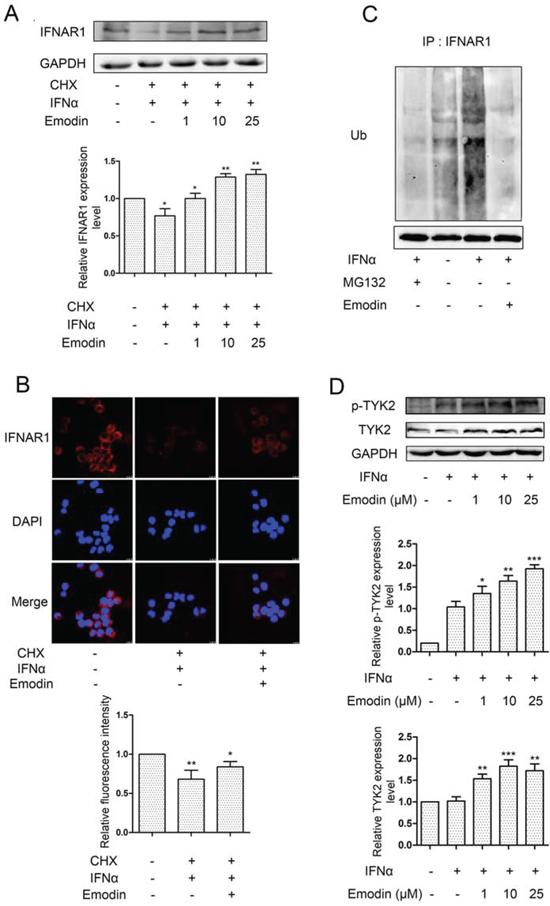 Figure 6. Emodin inhibits IFN-α-induced degradation of IFNAR1.