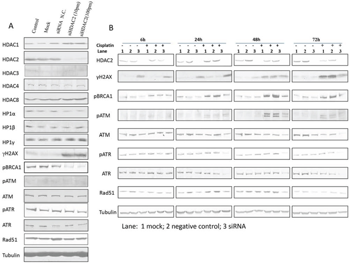 Figure 6. The effect of siHDAC2 knockdown on expression of other HDAC family members, HP1s, and DNA damage response proteins by western blotting in PEO1 cells alone (A) and in the presence / absence of cisplatin (B).