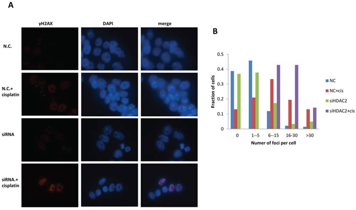 Figure 7. Immunofluorescence for γH2AX foci in PEO1 cells.