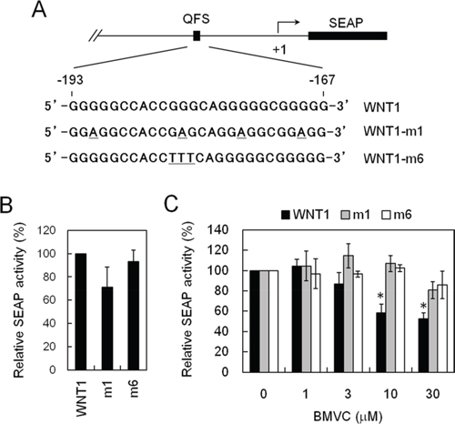 Establishing a cell-based assay system that inhibits WNT1 expression through stabilizing the G-quadruplex structure formed at its promoter.