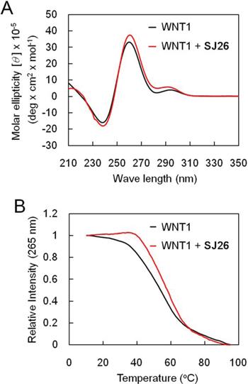 SJ26 enhances the melting temperature of WNT1 G-quadruplex.