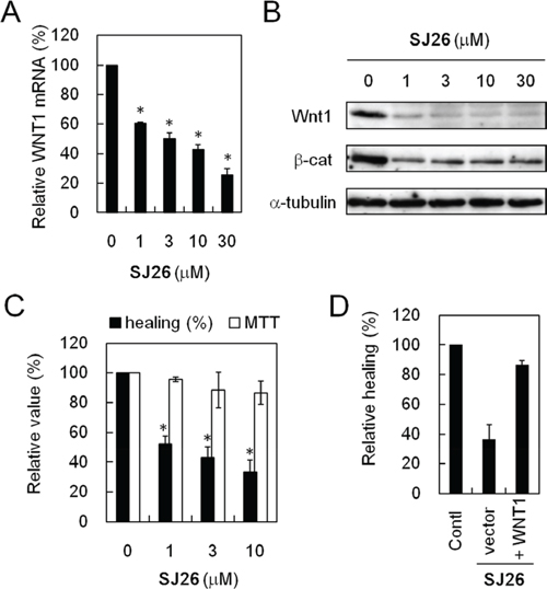 SJ26 repressed WNT1 expression and reduced the migration activity of H1299 cells.