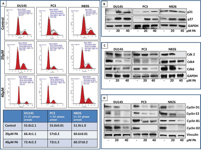 PA induces G0/G1 phase arrest of prostate cancer cells.