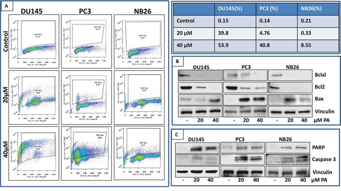 PA induces apoptosis in prostate cancer cells.