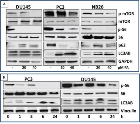 PA inhibits mTOR signaling and induces autophagy in prostate cancer cells.