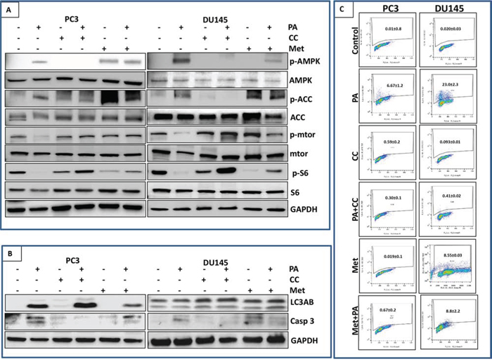 Inhibition of mTOR signaling and induction of apoptosis by PA is dependent on AMPK activation.