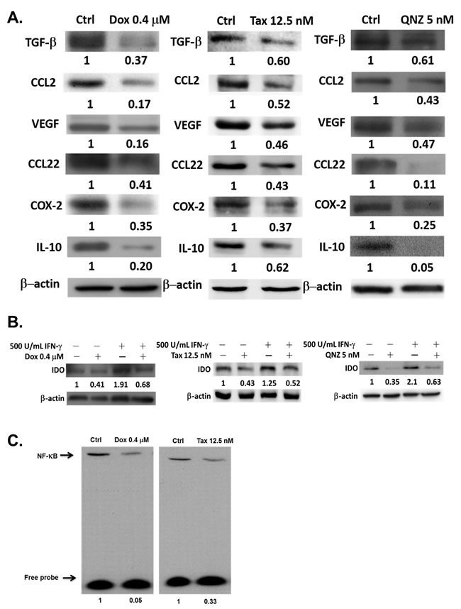 Expressions of immunosuppressive factors are decreased by one low-dose Dox or Tax