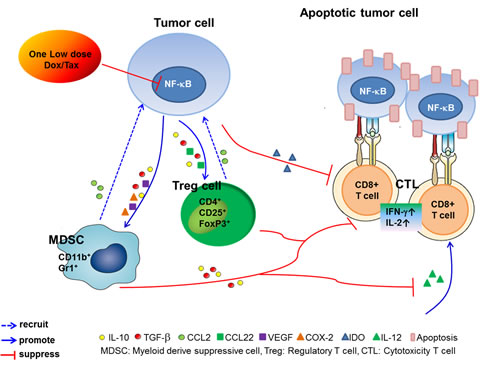 The proposed underlying mechanism for modulation of the immune tumor microenvironment and enhancement of the therapeutic efficacy of ACT in cancer pretreated with one low-dose Dox or Tax.