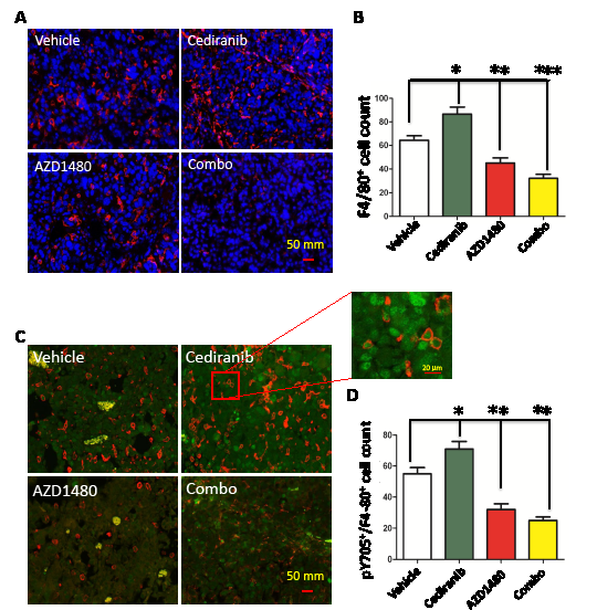 Figure5: STAT-3 blockade reduces macrophage infiltration. (A) Representative light microscopy images showing immunohistochemical detection of macrophages in GL261 gliomas as