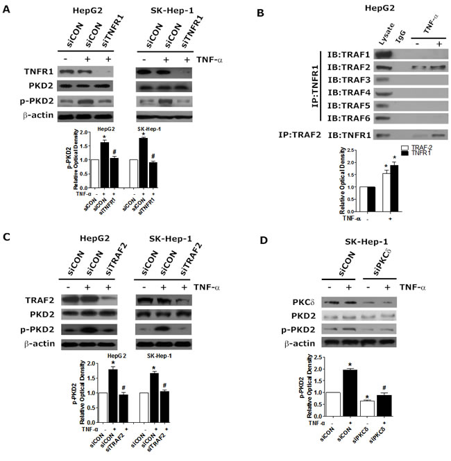 Requirement for TNFR1/TRAF2 in TNF-α-induced PKCδ/PKD2 activation.