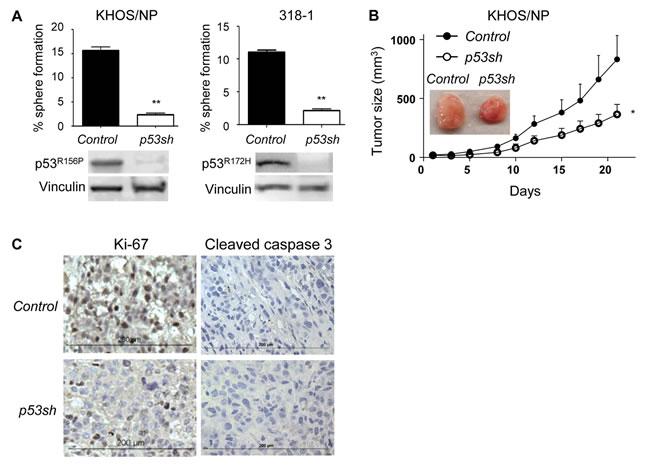 Mutp53 downregulation by